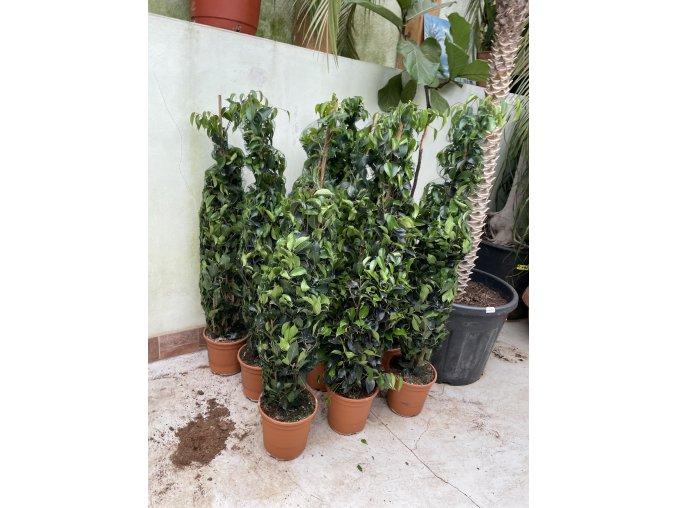 Ficus Benjamina , benjamín, stromek 100 cm