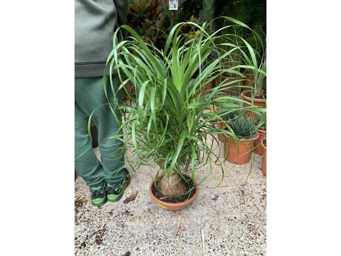 Beaucarnea recurvata, sloní noha, 70 cm