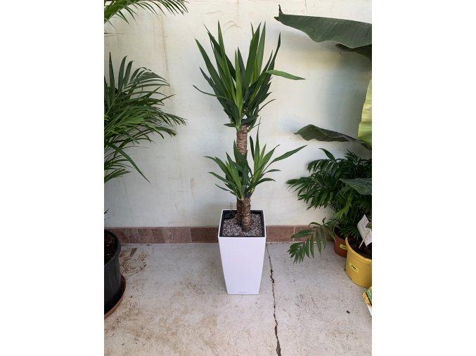 Yucca elephantipes + Cubico 22