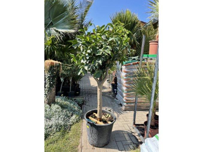 Limetka, původ rostliny Španělsko.180 cm