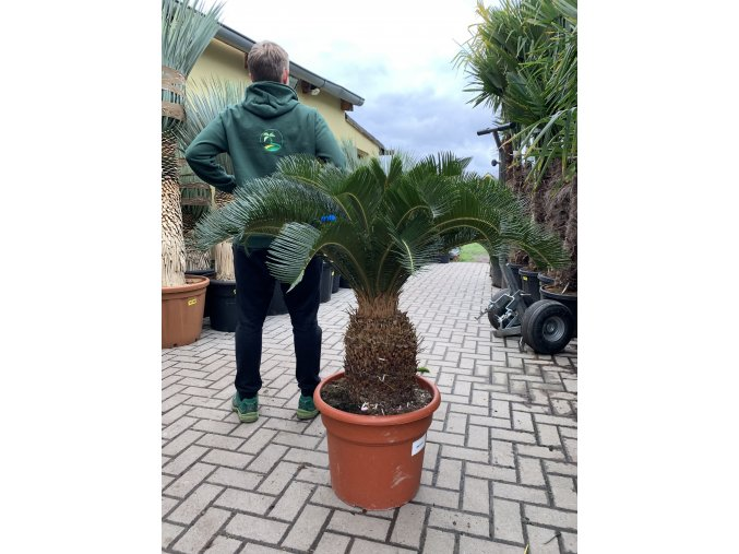 Cycas revoluta, Cykas revoluta, původ Španělsko. kmen 35 cm+