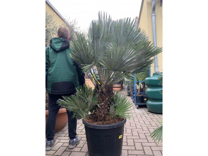 Chamaerops humilis vulcano , palma , původ palmy Španělsko. cca 160 cm