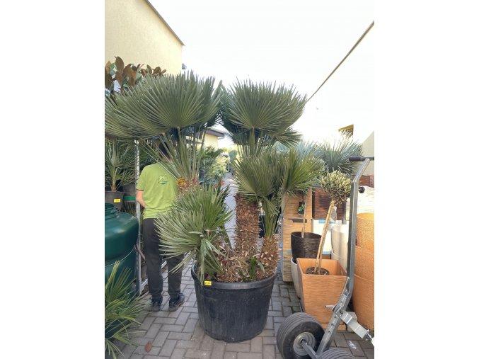 Chamaerops humilis vulcano , palma , původ palmy Španělsko. cca 180 cm