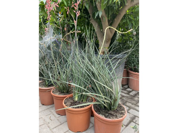 hesperaloe parviflora, -22°C