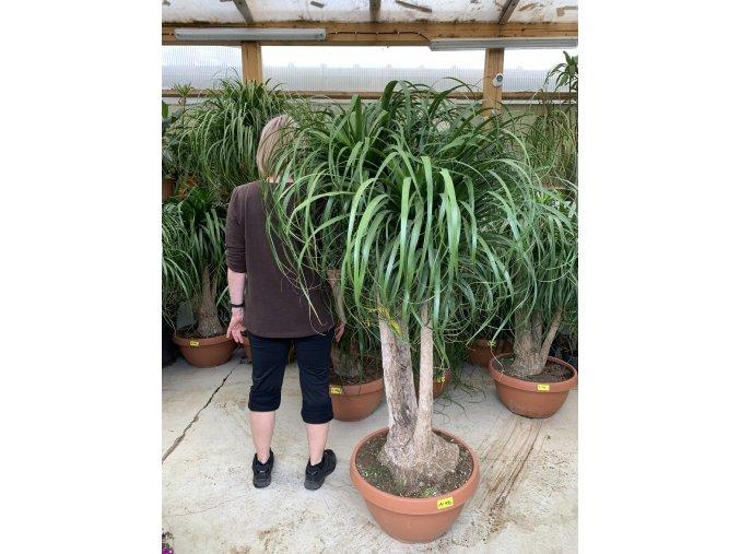 Beaucarnea guatemalensis, Sloní noha 170 cm