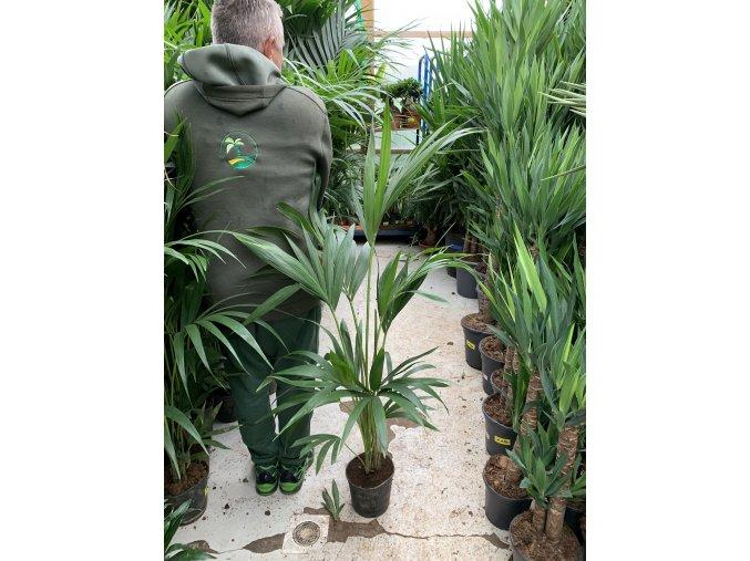 Howea Forsteriana , palma , původ palmy Španělsko. 90-100 cm