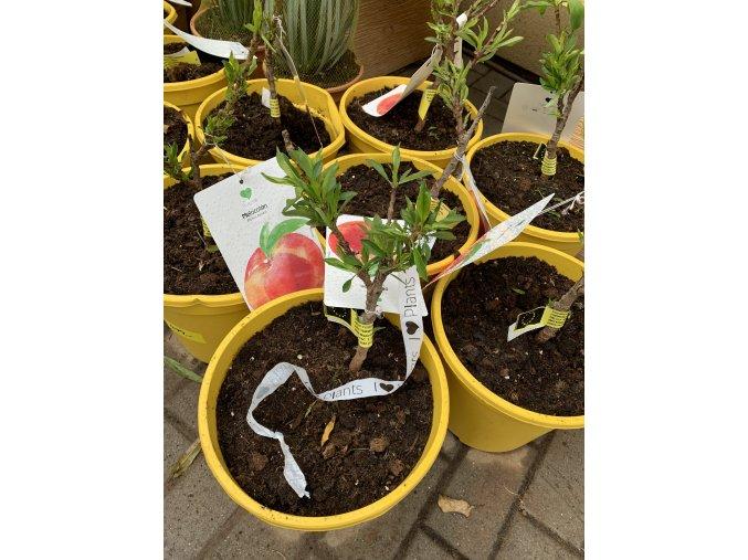 Prunus persica ,nectarino enano, nektarinka, 30 cm.