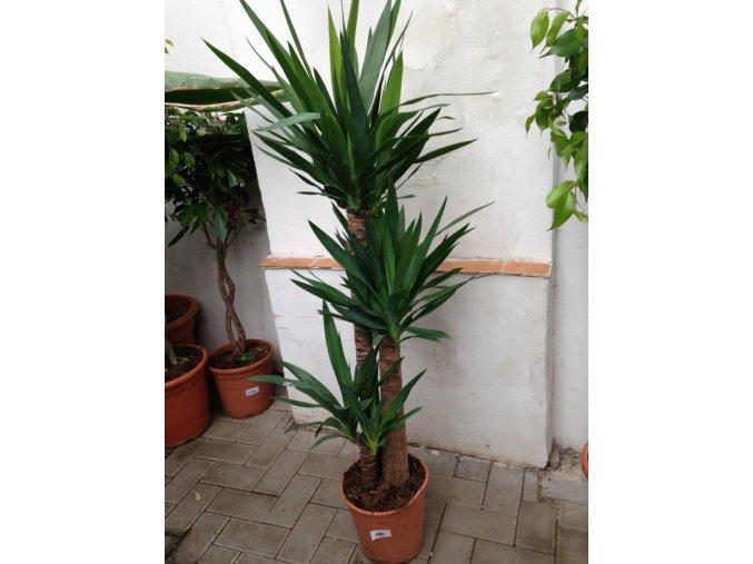 Yucca elegans, juka, původ rostliny Španělsko. 130 cm