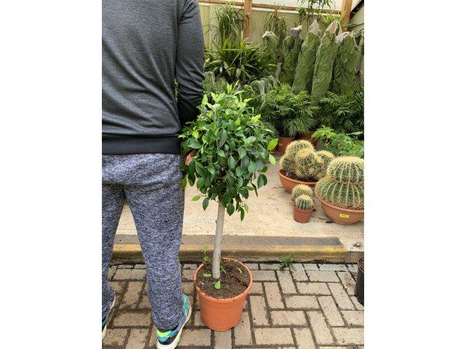 Ficus Benjamina , benjamín, kmínek, původ rostliny Španělsko 110 cm