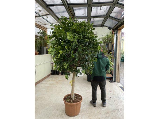 Ficus Benjamina , benjamín, kmínek, původ rostliny Španělsko 180 cm