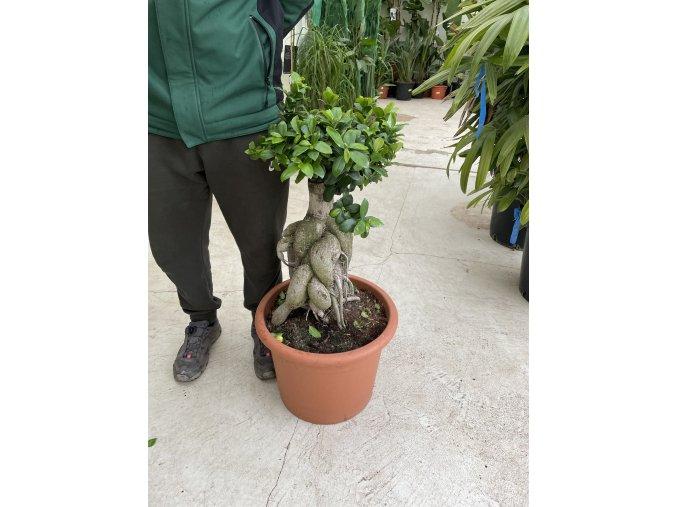 Ficus microcarpa bonsaj 80 cm