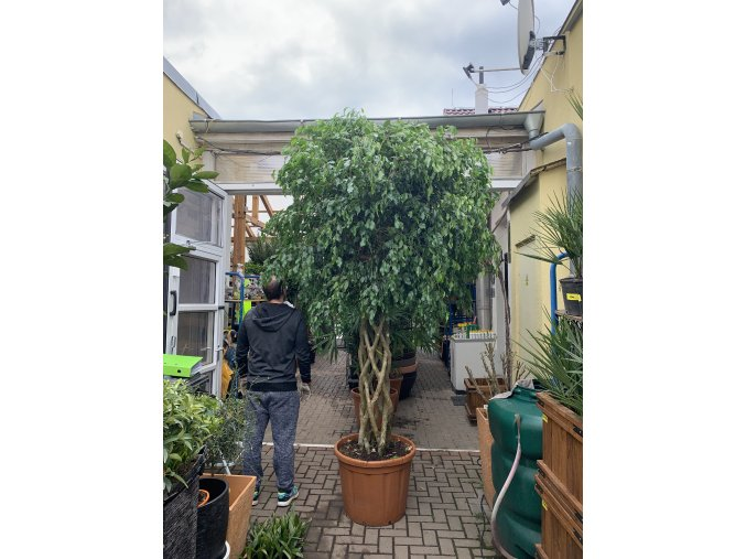 Ficus benjamina propleteny, 3m