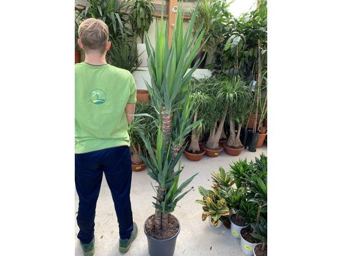 Yucca elegans, juka, původ rostliny Španělsko. 170 cm