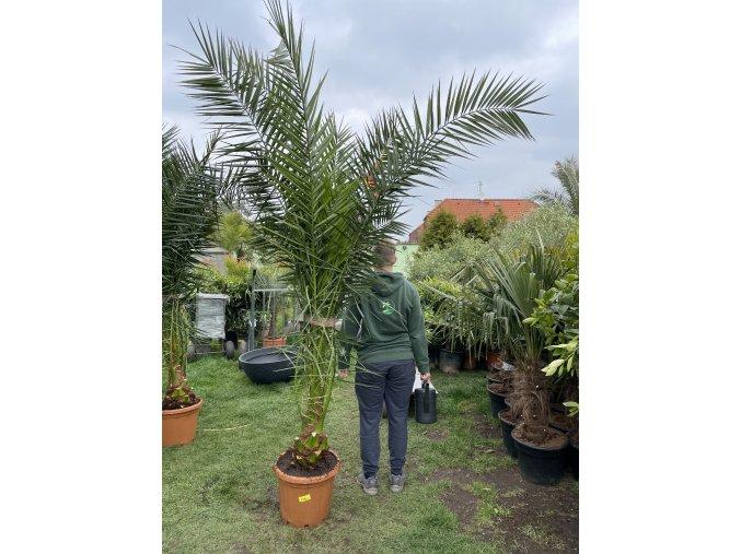 Phoenix canariensis,Datlová palma, Datlovník, 210+ cm.