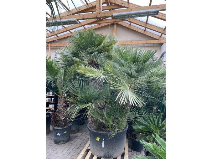 Chamaerops humilis, Trpasličí palma, 300 cm