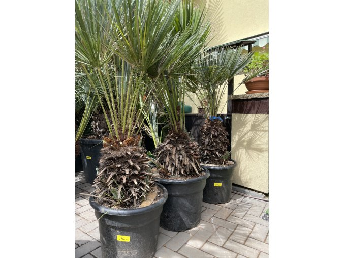 Chamaerops humilis var. Cerifera, Modrá trpasličí palma, Žumara, původ palmy Španělsko. 140 +cm