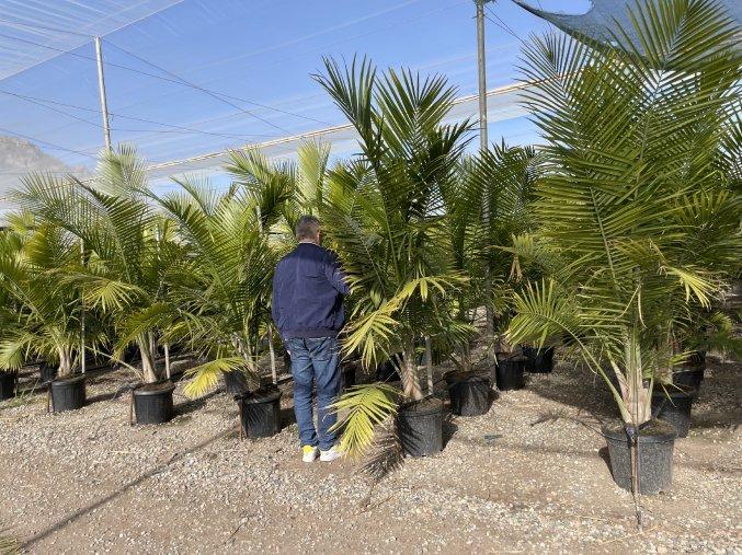 Ravenea Rivularis , palma , původ palmy Španělsko. 170 cm