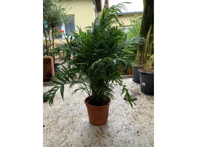 Chamaedorea elegans, původ palmy Španělsko. 95 cm