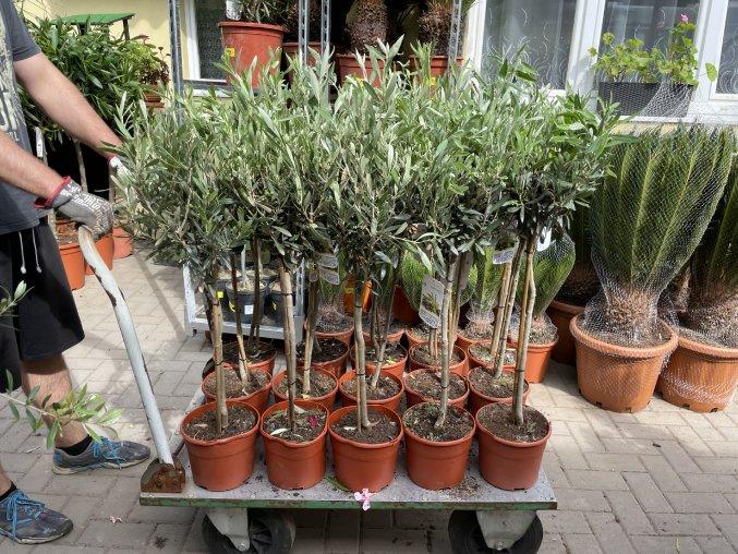 Olea europea - Olivovník 70 cm