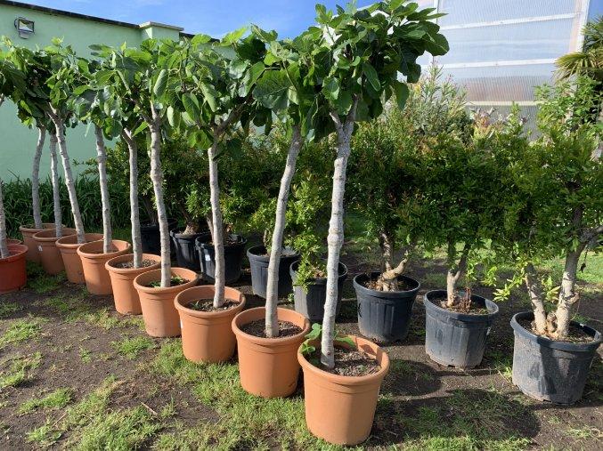 Ficus carica, fíkovník.150 cm