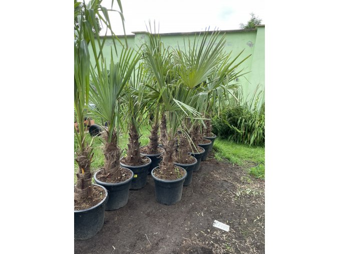 Trachycarpus fortunei, druhá jakost, kmen 30cm