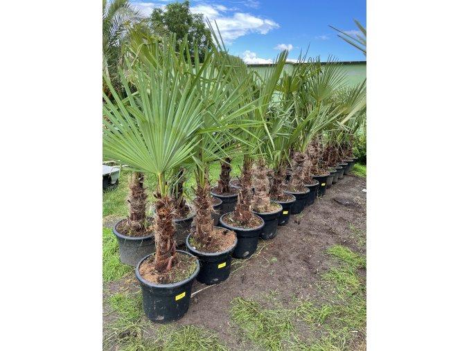 Trachycarpus fortunei, druhá jakost, kmen 40 cm
