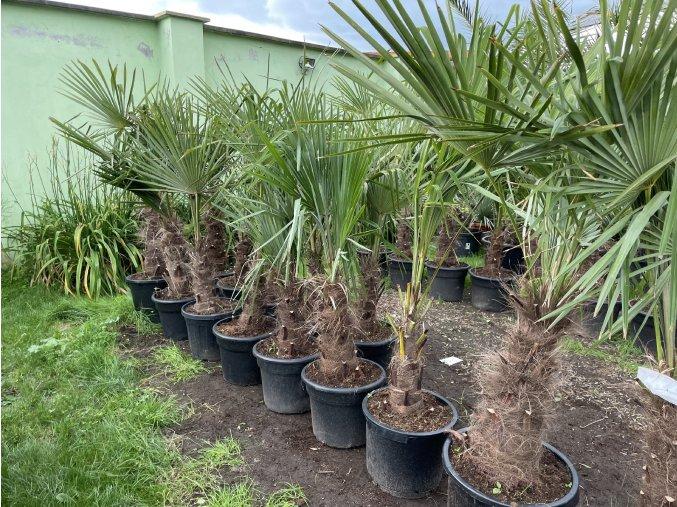Trachycarpus fortunei, druhá jakost, kmen 50 cm