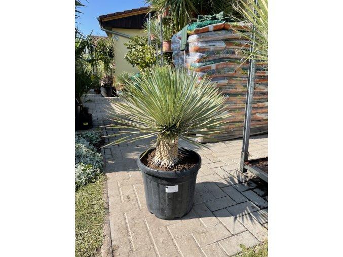 yucca thompsoniana 80 cm