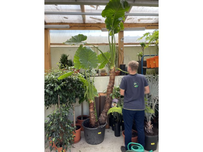 Alocasia macrorrhiza 280 cm