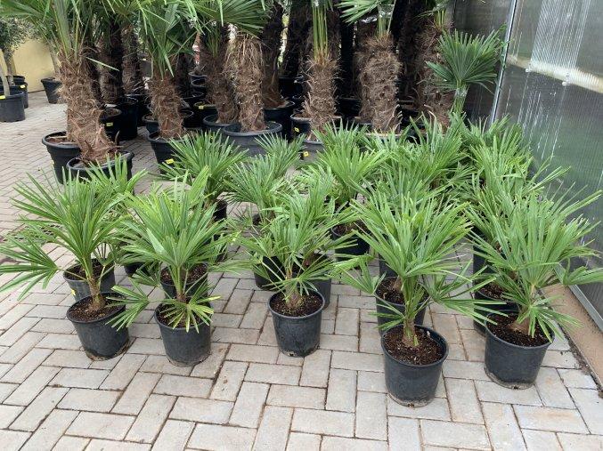 Trachycarpus fortunei, Výška 40 cm.