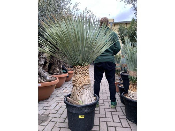 Yucca Rostrata, původ rostliny Španělsko, výška rostliny 110 cm