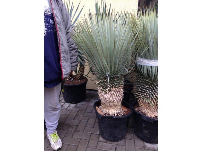 Yucca Rostrata, původ rostliny Španělsko. Výška kmene 30 cm, výška rostliny 100 cm+