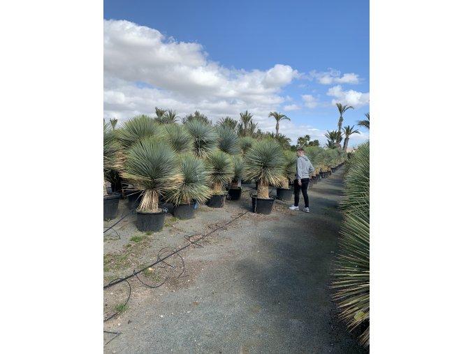 Yucca Rostrata, původ rostliny Španělsko.Výška kmene 40 cm