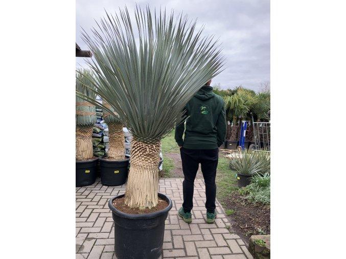 Yucca Rostrata, původ rostliny Španělsko.Výška rostliny 150 cm+