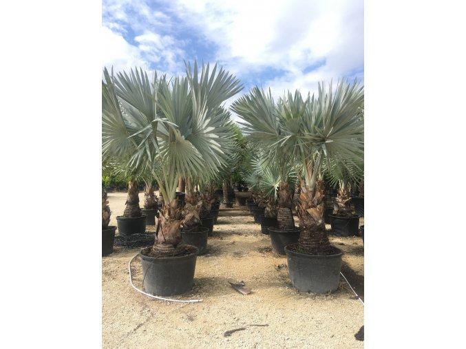 Bismarckia nobilis, Bismarckova palma, původ palmy Španělsko. 400 cm