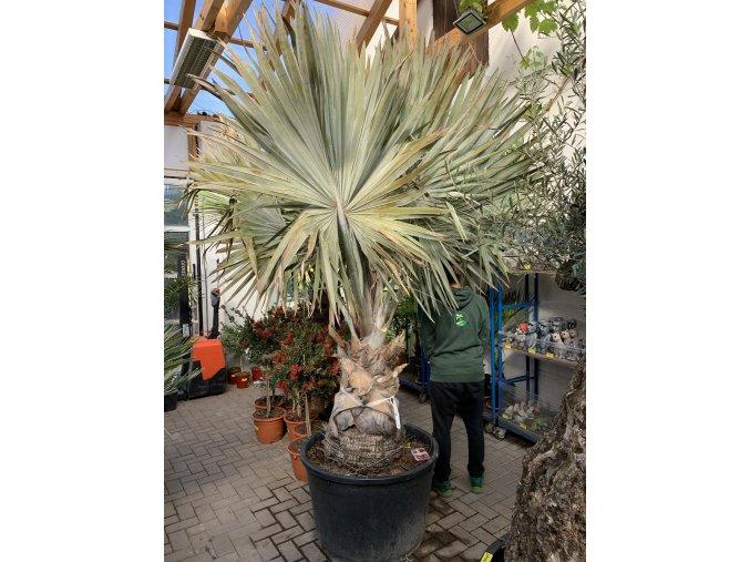 Bismarckia nobilis, Bismarckova palma, původ palmy Španělsko. 320 cm