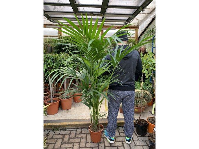 Howea Forsteriana , palma ,170 cm