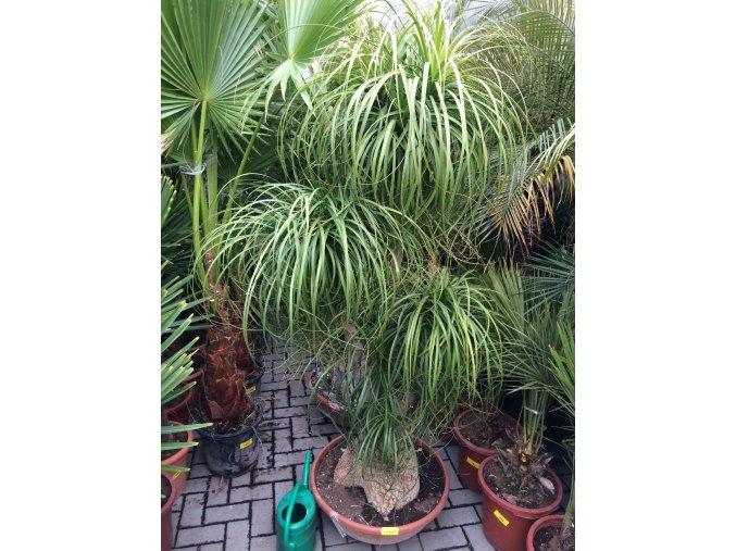 Beaucarnea guatemalensis, sloní noha, původ rostliny Španělsko, rozvětvená160-170 cm