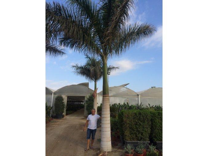Roystonea Regia, palma, původ poalmy Španělsko