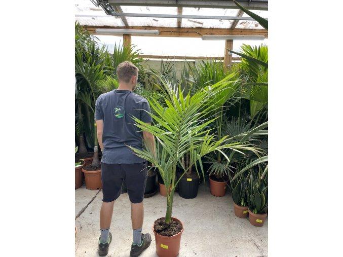 Archontophoenix alexandrae, Alexandrova palma, původ palmy Španělsko. 150 cm