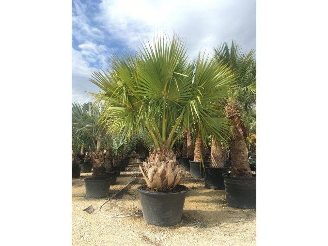 Sabal palmetto, Palmetto palma, původ palmy Španělsko. 230-270 cm