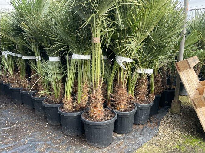 Chamaerops humilis, Trpasličí palma, Žumara, původ palmy Španělsko. 80 cm
