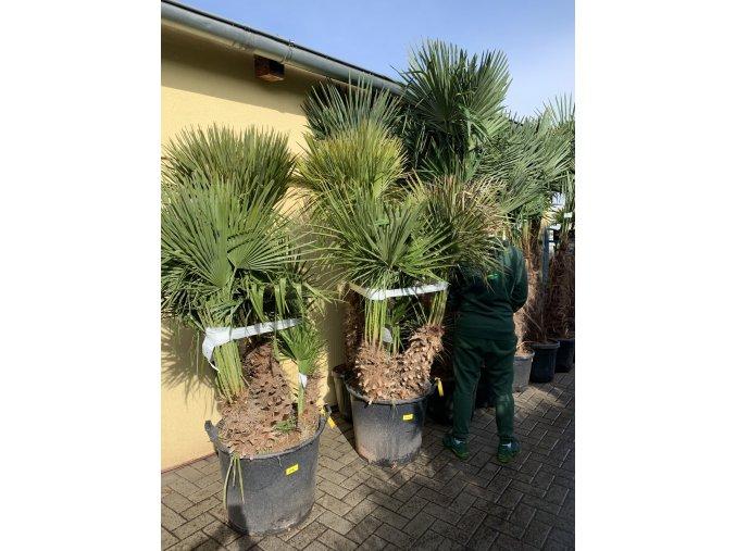Chamaerops humilis, Trpasličí palma, Žumara, původ palmy Španělsko. 180-200 cm