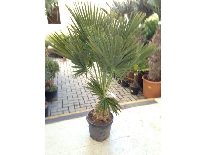 Brahea edulis, Guadalupská palma, původ palmy Španělsko. 150-160 cm