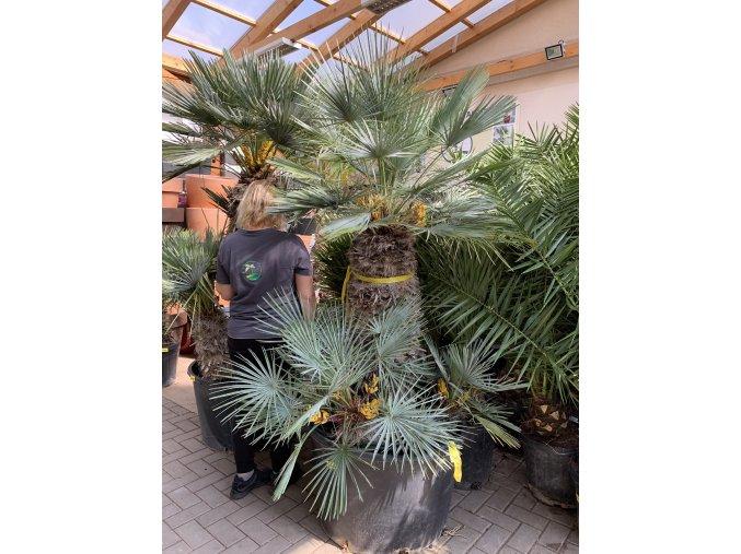 Chamaerops humilis var. Cerifera, Modrá trpasličí palma, Žumara, původ palmy Španělsko.200 cm