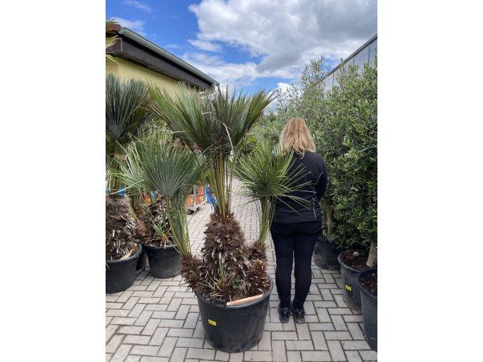 Chamaerops humilis var. Cerifera, Modrá trpasličí palma, Žumara, původ palmy Španělsko. 170+ cm