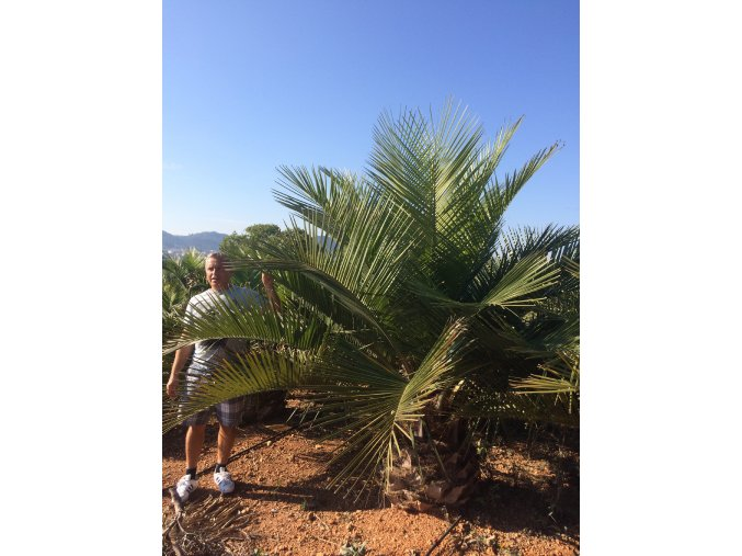 Jubaea chilensis, Chilská palma, původ palmy Španělsko. Cca 2,5m