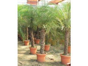Phoenix roebelenii, Trpasličí datlová palma, původ palmy Španělsko. 130-150 cm