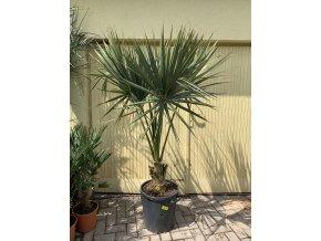 Sabal palmetto, Palmetto palma, původ palmy Španělsko.180 cm