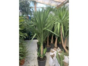 Yucca Elephantipes, juka, původ rostliny Španělsko. 90 cm
